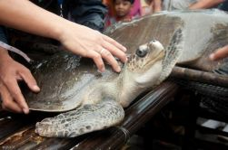 olive-ridley turtle