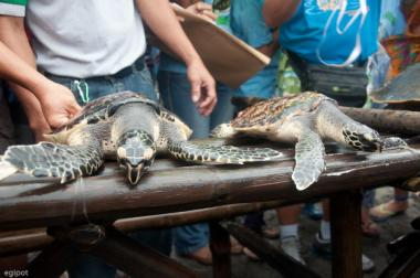 hawksbill turtle and olive-ridley turtle