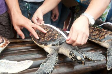 hawksbill turtle's measurements being taken before the send off